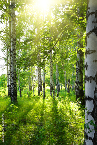 Fotobehang Berkbosje summer birch woods with sun