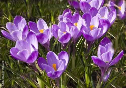Foto op Plexiglas Krokussen Purple crocuses