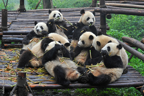 Giant panda bears gather for bamboo meal Wallpaper Mural