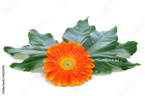 Photo gerbera daisy