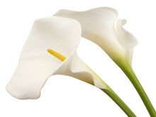 White Calla Flowers Isolated