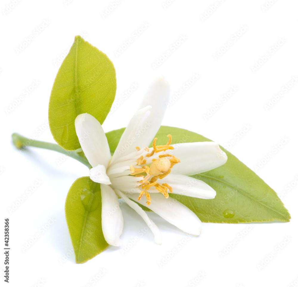 Fototapety, obrazy: Blüte, Zitrusfrucht