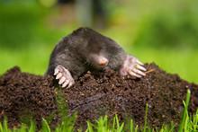 Mole On Molehill
