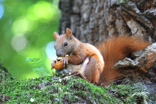 Fotografía  red squirrel sitting on a tree