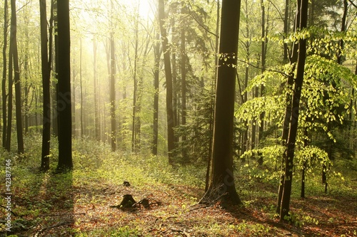 Foto auf Acrylglas Wald im Nebel Beech forest in a nature reserve in the spring morning