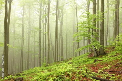 Foto auf Acrylglas Wald im Nebel Landscape of beech forest on a foggy spring morning