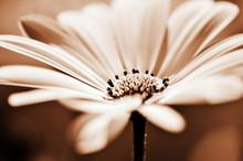 Pretty Daisy, Shallow Depth Of...