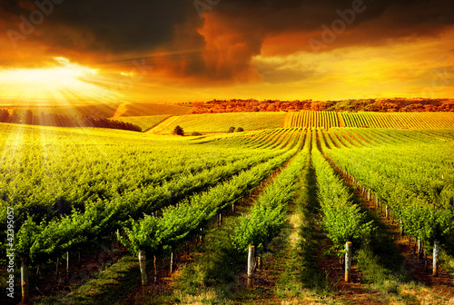 Stunning Vineyard Sunset - 42395057