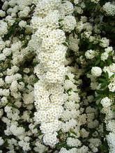 White Flowering Shrub Spirea Aguta (Brides Wreath)