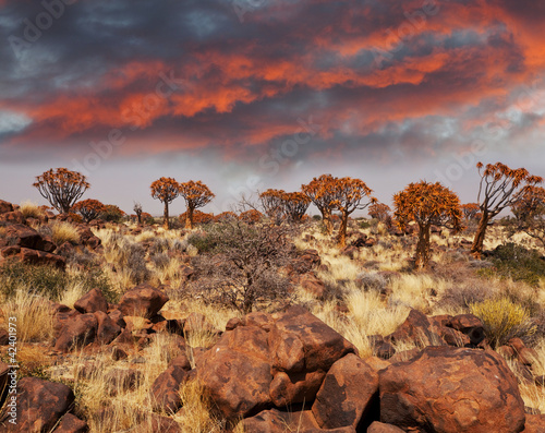 Poster Afrique du Sud Quiwer tree