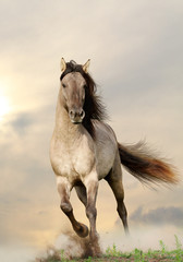 Fototapetawild stallion running in sunset