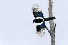 European Magpie, Pica Pica
