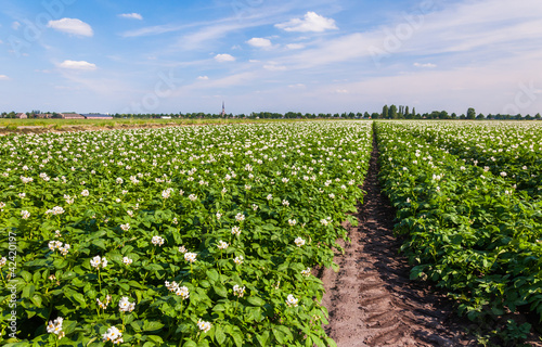 Potato Plants With White And Yellow Flowers Buy This Stock Photo