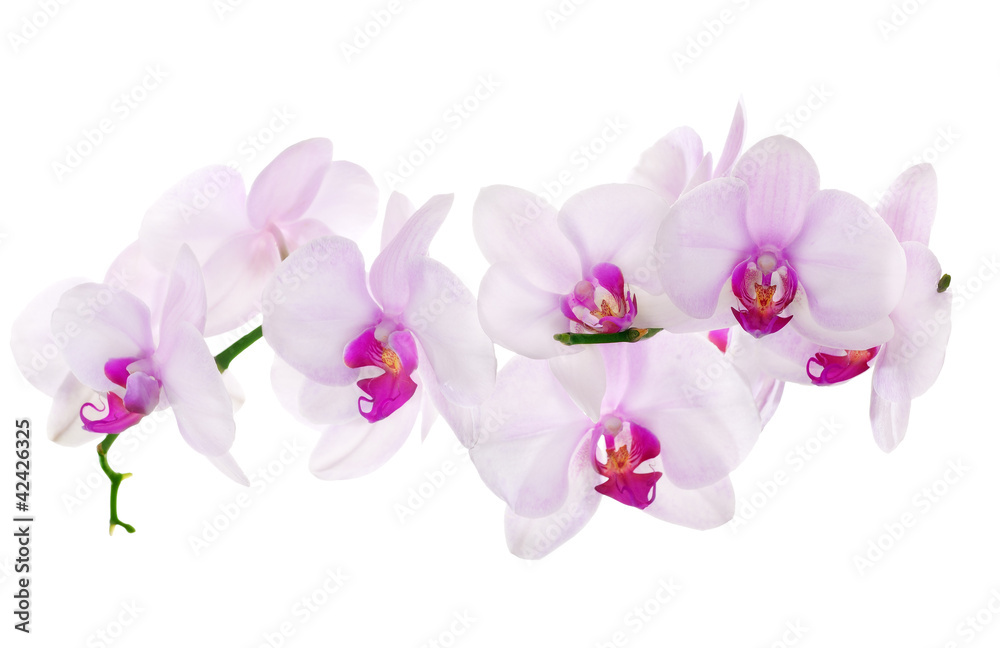 Fototapety, obrazy: lot of light pink isolated orchids