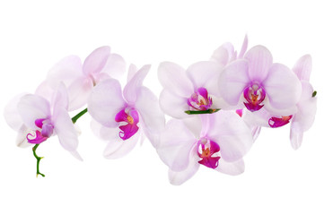 Fototapetalot of light pink isolated orchids