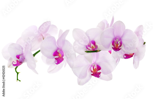 Poster Orchidee lot of light pink isolated orchids