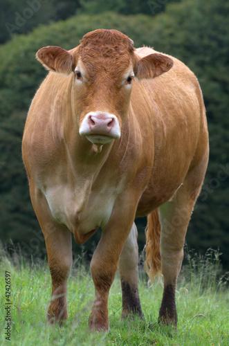 Papiers peints Vache Vache de race limousine