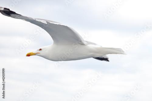 Obraz na plátně Albatross