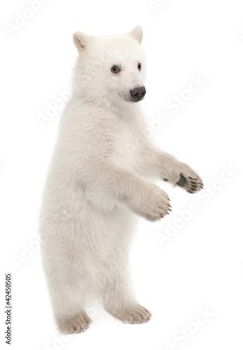 Deurstickers Ijsbeer Polar bear cub, Ursus maritimus, 6 months old