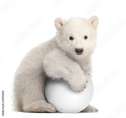 Polar bear cub, Ursus maritimus, 3 months old, with white ball