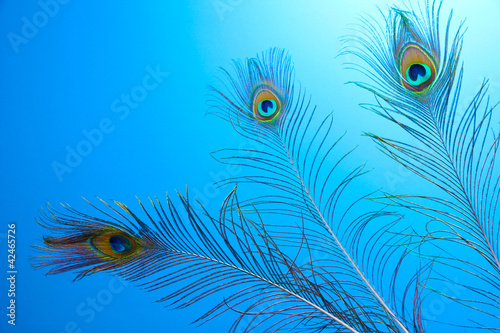 Keuken foto achterwand Vlinders in Grunge Peacock feathers on blue background