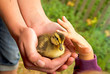canvas print picture - duckling and child