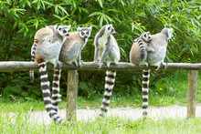 Ring-tailed Lemur In Captivity