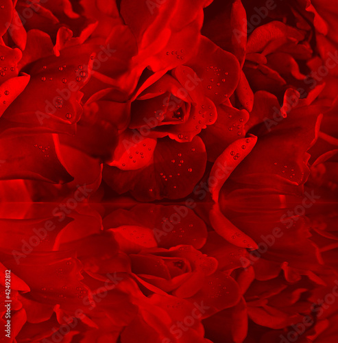 Red roses with dew - 42492812
