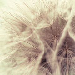 Fototapeta Relaks i kontemplacja Abstract closeup of a meadow salsify