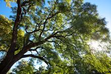Crown Of The Jakaranda Tree In The Sunlight