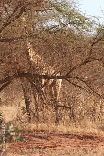 giraffa Poster