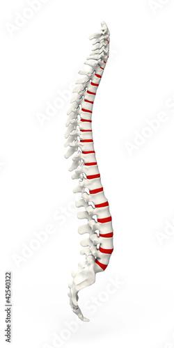 Fotografía  Human Spine