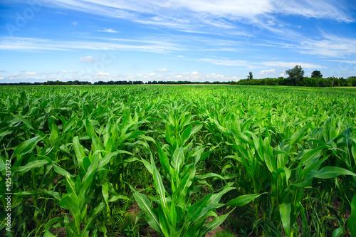 Fotografía  Green corn field