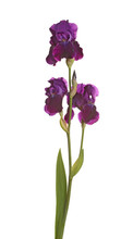 Stem With Three Purple Iris Fl...