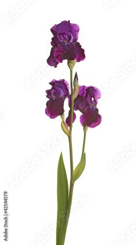 Spoed Foto op Canvas Iris Stem with three purple iris flowers