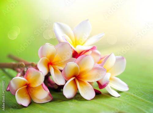 frangipani-tropical-spa-flower-plumeria-plytkie-dof