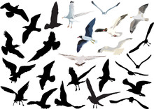 Gulls Collection Isolated On W...