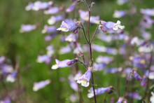 Lilac Penstemon