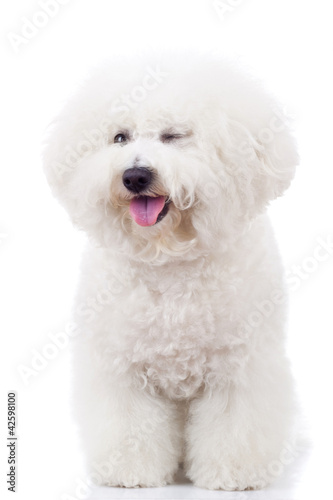 Photo bichon frise puppy dog winking at the camera