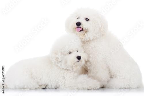 Fotografiet pair of adorable bichon frise puppy dogs