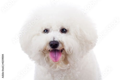 bichon frise puppy dog Tablou Canvas