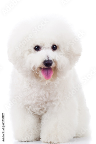 seated bichon frise puppy dog Wallpaper Mural
