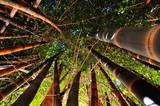 Ciemne bambusy