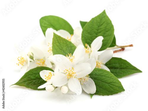Flowers of jasmine фототапет