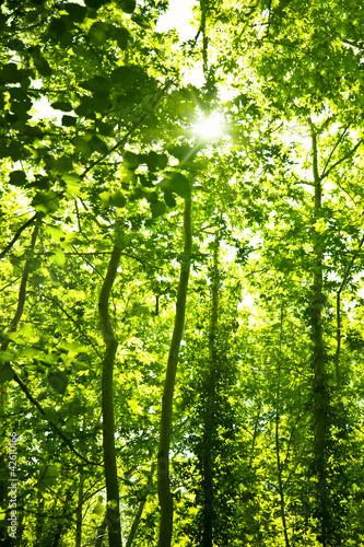 Fototapeta las korony-drzew-w-lesie