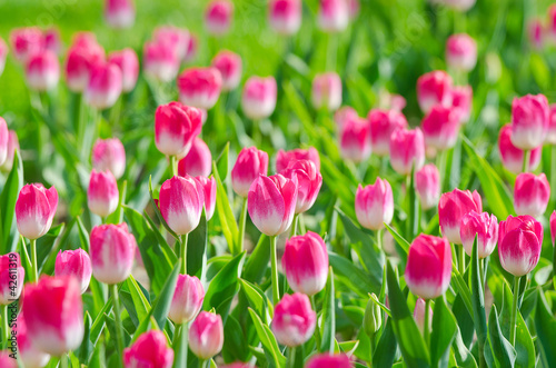 Photo sur Toile Rose Flowers tulips in the garden