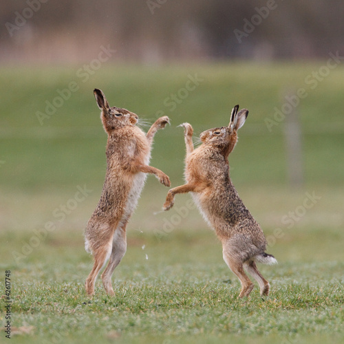 Canvas Print boxing hares