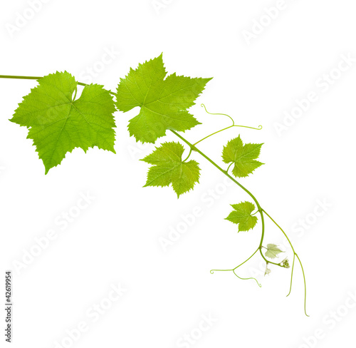 Fotografia  Vine leaves