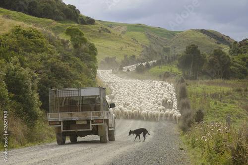 Neuseeland - Insel der Schafzucht