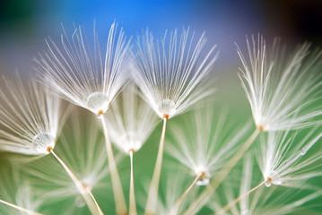 Fototapetadandelion seeds